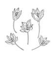 collection set saffron flower delicate line vector image
