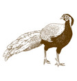 engraving of silver pheasant vector image vector image