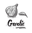 garlic hand drawn vector image