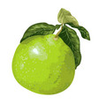 pomelo fruit on the branch of citrus tree in vector image