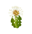 dandelion with green leaves and seeds with downy vector image vector image