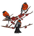 bullfinches on the branches of mountain ash vector image vector image