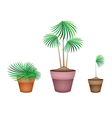 Lady Palm Tree in Ceramic Flower Pots vector image vector image