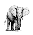 Hand drawn of elephant isolated on white vector image