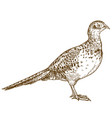 engraving drawing of pheasant female vector image vector image