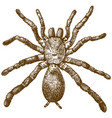 engraving of king baboon spider vector image