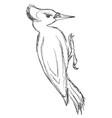 sketch of black woodpecker vector image vector image