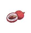 lychee isolated tropical fruit sketch whole half vector image vector image