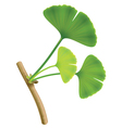 twig with leaves of ginkgo biloba on white backgro vector image vector image