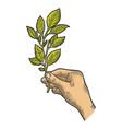 branch tea plant sketch engraving vector image vector image