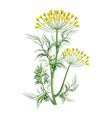 dill herb with small yellow bloom and green stem vector image vector image