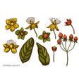 set hand drawn colored hypericum vector image vector image
