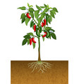 jalapeno pepper plant vector image