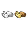potato whole and slice engraving vintage vector image vector image