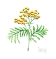 Watercolor tansy herb vector image vector image
