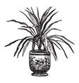 dracaena australis vintage vector image vector image
