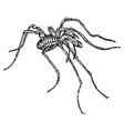 vintage engraving a spider vector image vector image