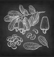 chalk sketch cashew vector image