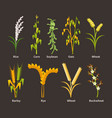 ereals and legumes of various agricultural types vector image