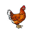 sketch hand drawn chicken isolated vector image