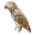 engraving drawing african grey parrot vector image