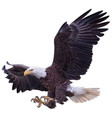 bald eagle swoop landing attack hand draw white vector image