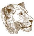 engraving lioness head vector image vector image