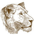 engraving of lioness head vector image vector image