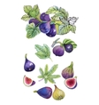 Watercolor set of figs on white background vector image