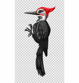 black woodpecker on transparent background vector image