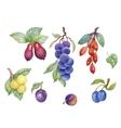 Watercolor berries plum and other fruit on white vector image vector image