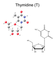 Chemical formula and model of thymidine vector image vector image