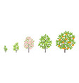 mandarin tree growth stages vector image vector image