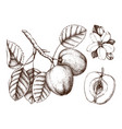 apple botanical vector image