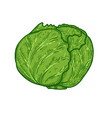 cabbage in engraving style design element for vector image