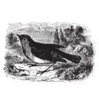 european robin redbreast vintage vector image vector image