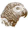 engraving drawing of african grey parrot head vector image