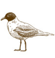 engraving drawing of mediterranean gull vector image vector image