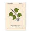 alangium chinense medicinal plant vector image vector image
