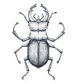 stag beetle tattoo art lucanus cervustattoo vector image