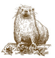 engraving drawing of otter vector image vector image