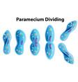 paramecium dividing bacteria diagram vector image