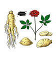 ginseng drawing medical plant sketch vector image vector image