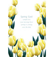 yellow tulip flowers blossom vector image