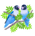 pair of blue masked lovebirds vector image