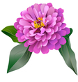 Realistic pink zinnia flower vector image vector image