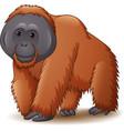 cartoon of orangutan isolated vector image vector image