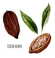 cocoa beans and leaves hand drawn watercolor vector image vector image