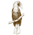 engraving male papuan hornbill vector image vector image
