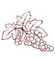 bunch of grapes vector image vector image